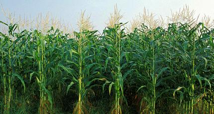 Image result for cornfields kansas