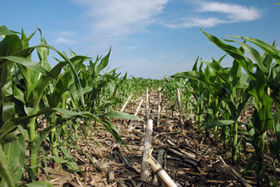 Yound corn growing in crop residue