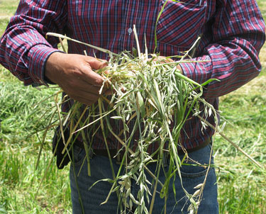 Person holding crop residues in his hands