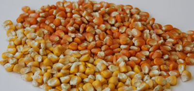 A pile of yellow corn and high-carotenoid corn