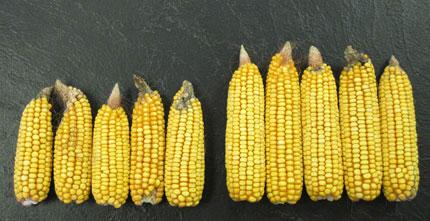 Benefits of Bt corn go beyond rootworm resistance | American ...