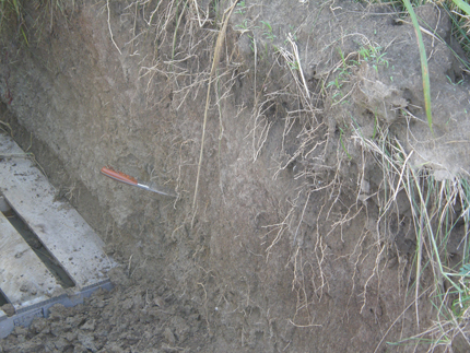 Miscanthus roots break up the soil.