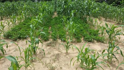 Cultivo de sorgo y maní en suelo arenoso de la región del Sahel