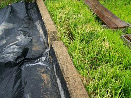 Hay dos tiras de plantas de arroz a la derecha y una lona de plástico negro que cubre una sección a la izquierda.