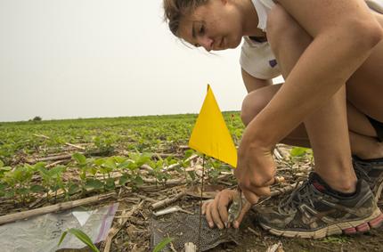 Levantando bolsas de arena y núcleos de raíces de parcelas de cereal centeno-soja