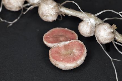 Un nódulo de la raíz de soja abierto para mostrar un interior rosa saludable