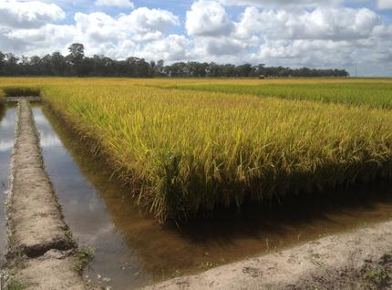 Rincón de un campo de arroz inundado.