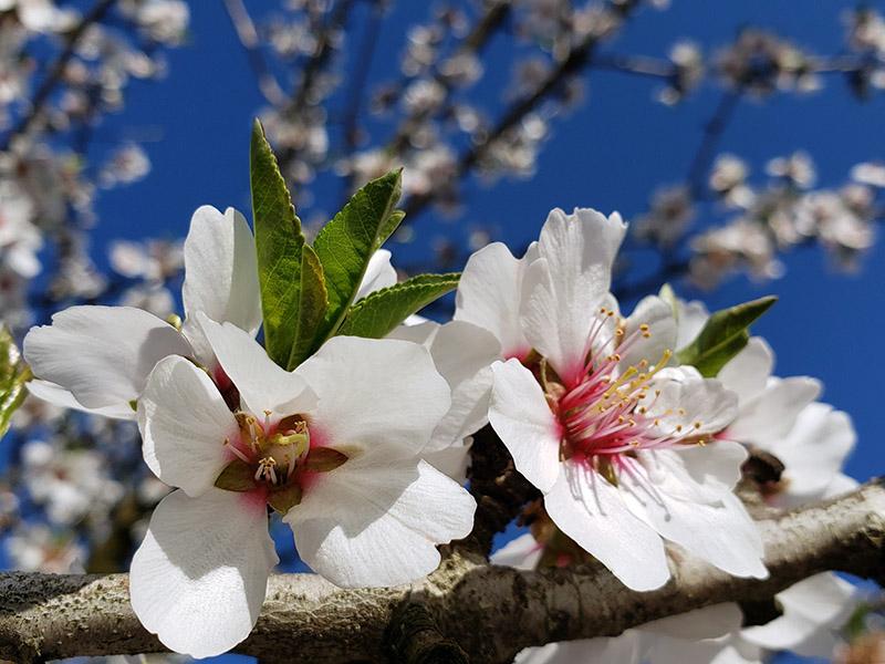 dos flores de almendro blanco y rosa