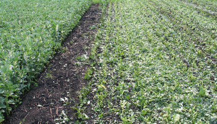 Faba beans cut for green manure