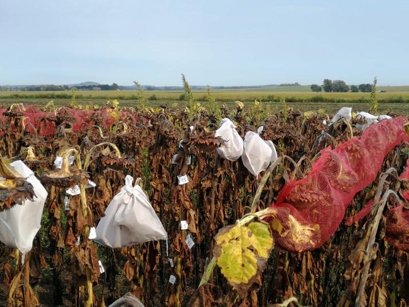 cabezas de girasol muertas cubiertas en bolsas de malla