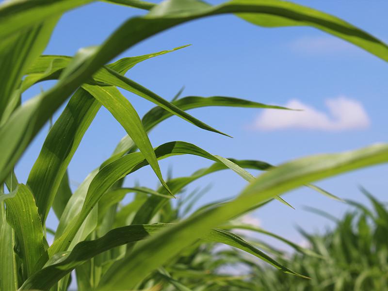 Cerca de hojas de maíz en un campo contra el cielo azul