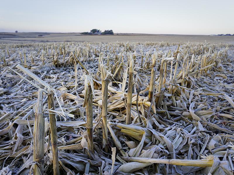 Campo de rastrojo de maíz