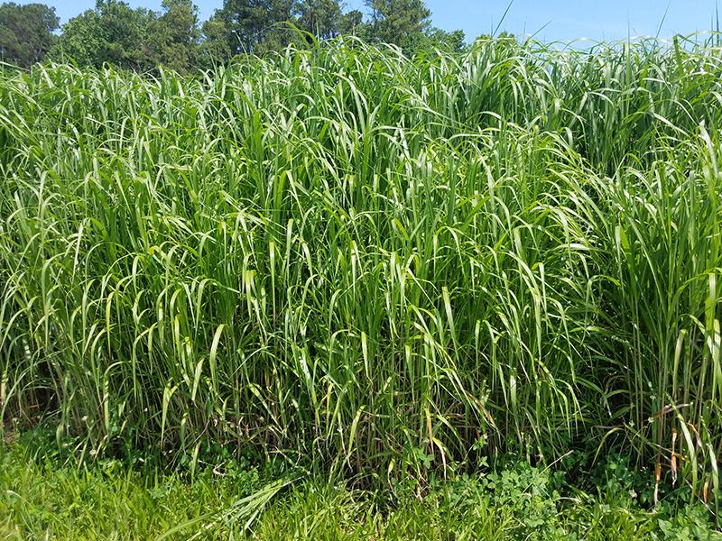 Alto campo de hierba de cultivo bioenergético de miscanthus