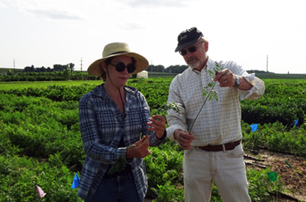 Two researchers hold carrots, including tops, in the field
