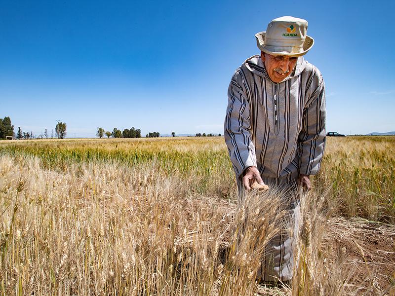 granjero en campo de trigo