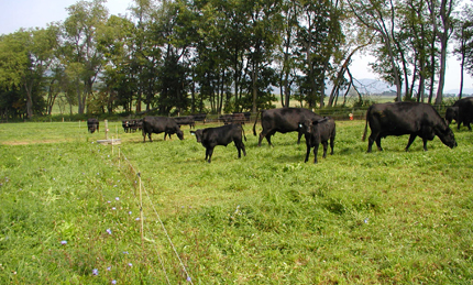 Grazing cattle in multi-species forage