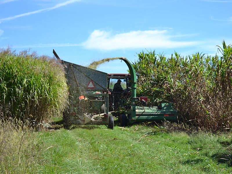El cortador de ensilaje mecánico recolecta biomasa de sorgo
