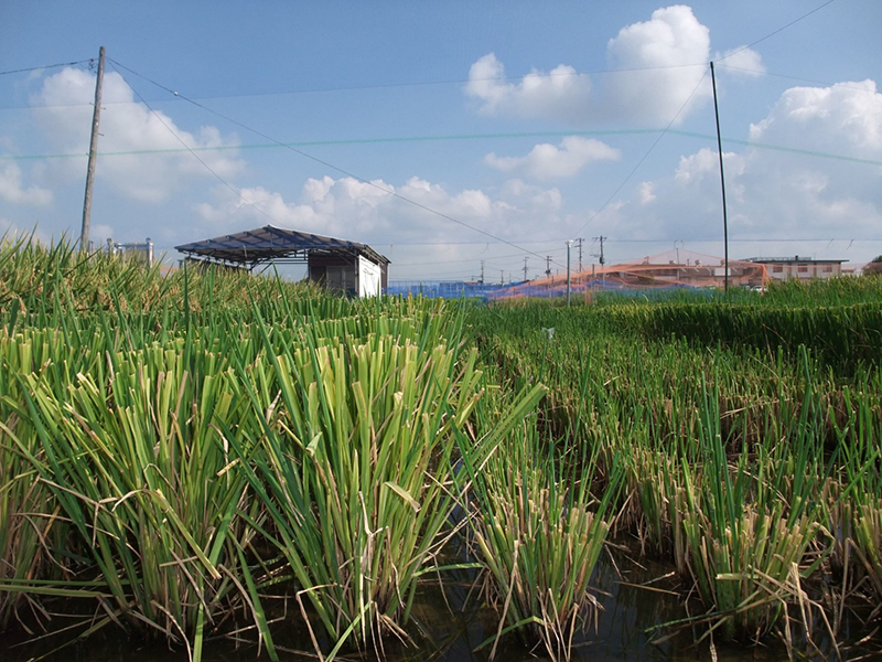 Comparison of rice plant cut heights five days after first harvest
