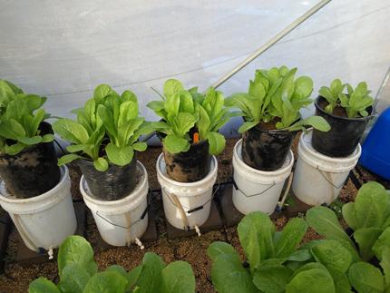 Invernadero lleno de lechugas que crecen en macetas.