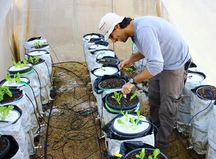 estudiante con gorra de béisbol trabajando con ollas llenas de lechuga en invernadero