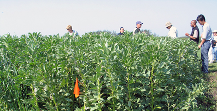 Scientists working in faba bean field