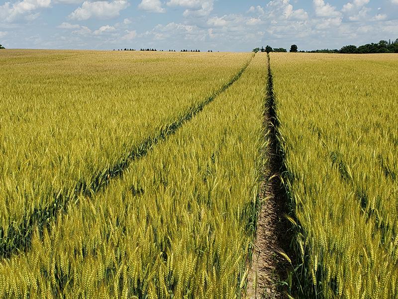 campo de trigo maduro con pistas de pulverizador
