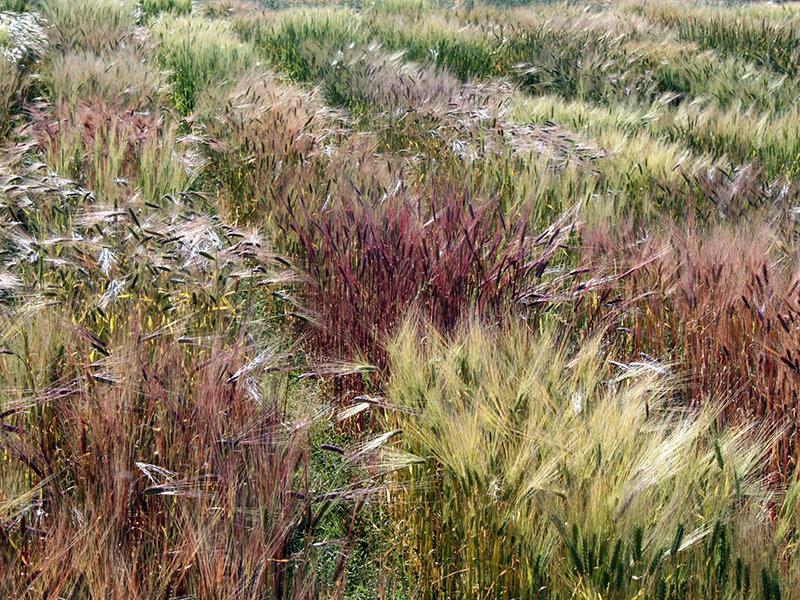 campo de coloridas variedades de cebada