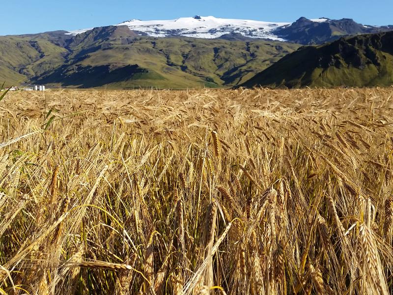 Campo de cebada con montaña en segundo plano.