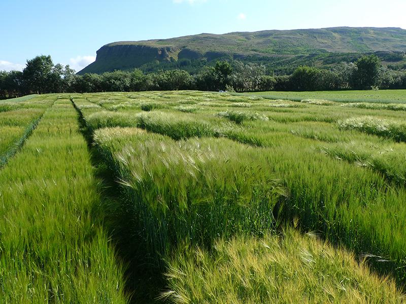 Prueba de campo de cebada con montaña en segundo plano.