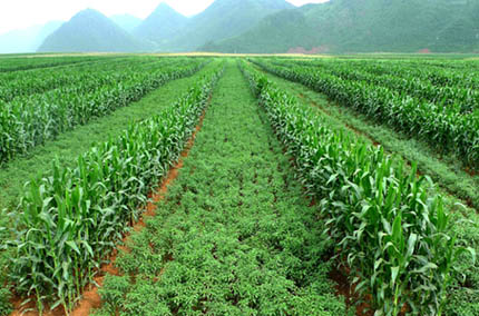 Maize intercropping with chili in China