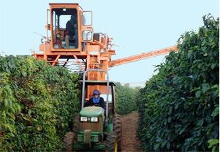Un tractor está entre dos filas altas de cafetos verdes.  Adjunto a él, una cosechadora mecánica se extiende a horcajadas en una de las filas.
