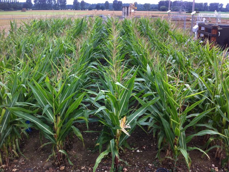 maíz que crece en suelo rocoso