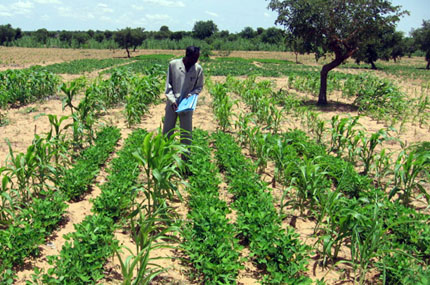 Observadores investigadores que cultivan sorgo y cacahuete en suelo arenoso del Sahel