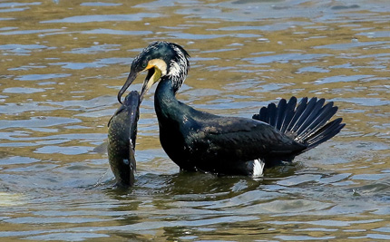 Great cormorant in the reservoir with a fish