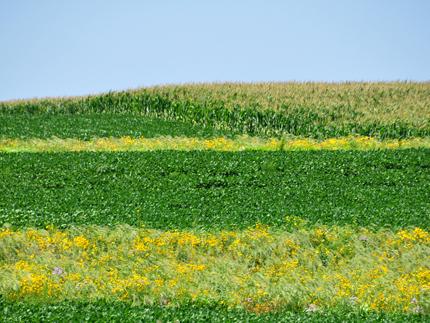 Un campo de maíz en el fondo está rodeado por una franja de pradera verde oscuro y verde claro.