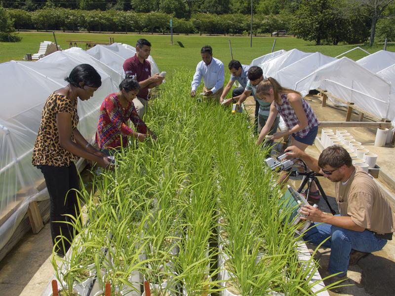 investigadores inspeccionando plantas de arroz