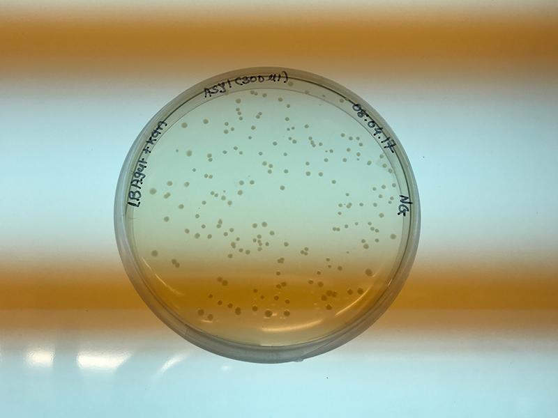 placa de Petri con bacterias creciendo