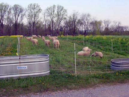 Ovejas que pastan en la parcela de leguminosas de hierba