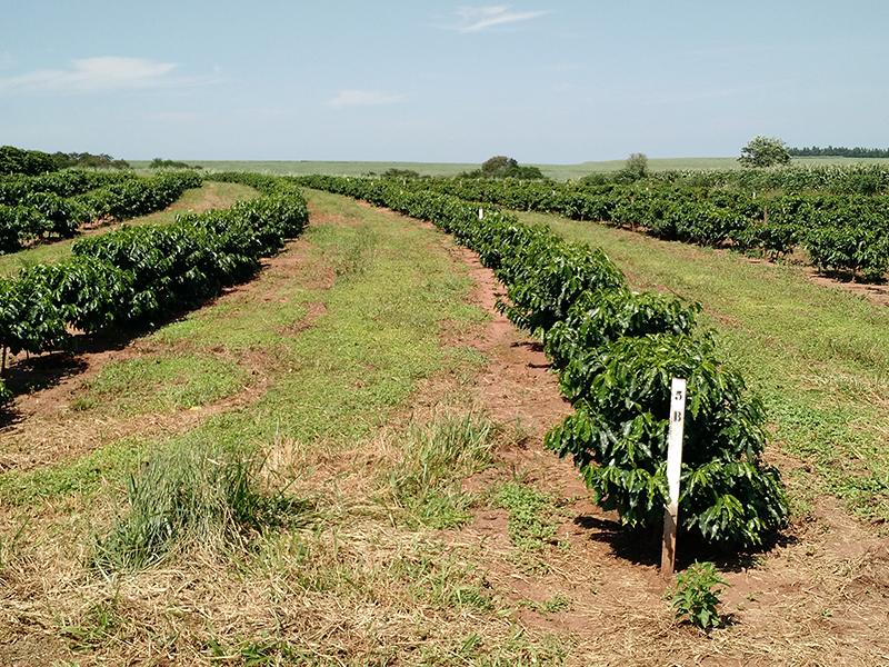 plantas de café etiquetadas en el campo