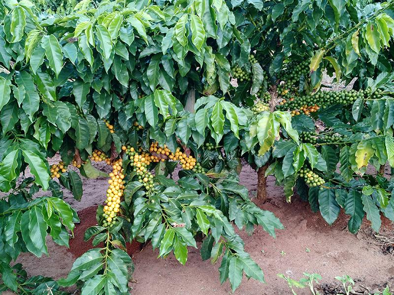 plantas de cafe con frutos rojos
