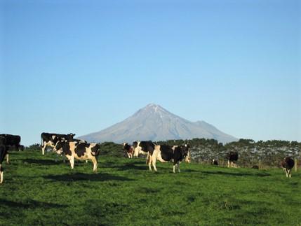 Vacas en pastoreo.