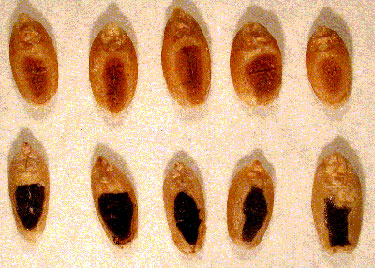 rows of waxy and normal wheat kernels