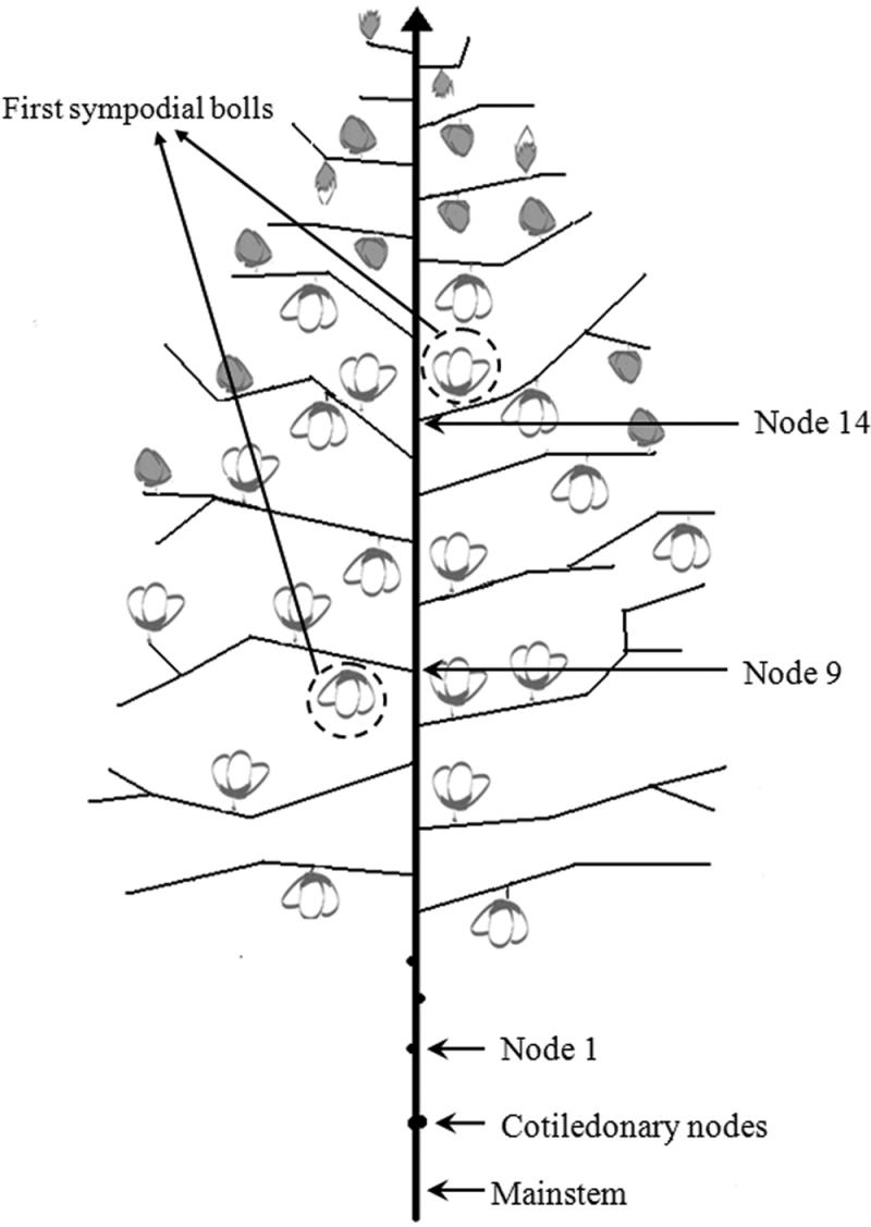 Cotton Plant Diagram Fig 1 Cotton Plant Diagram